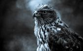 Monocolor-Eagle-HD