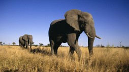 African-Elephants-Wallpaper