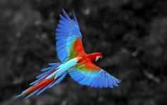 Beautiful-Flying-Parrot