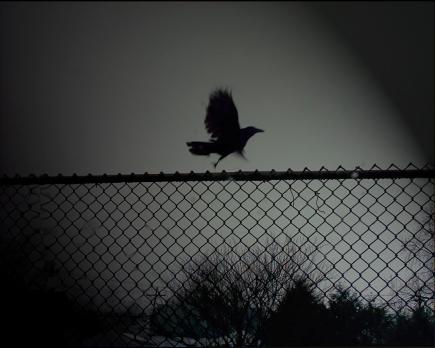 Bird-Fence-DArk