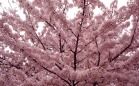 Cherry-Blossoms-HD
