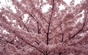 Cherry-Blossoms-HD