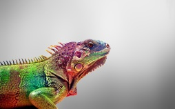 Colored-Iguana-Wallpaper