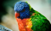Colorful-Parrot-wallpaper