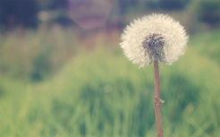 Dandelion-Macro-Wallpaper