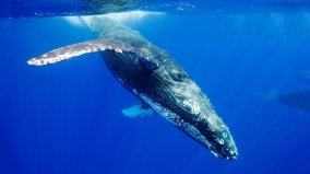 Diving-Blue-Whale-HD-Wallpaper