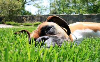 Dog-in-Grass-HD-Photo