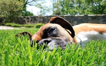 Dog-in-Grass-HD-Photo