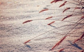 Dried-Grass-and-Snow-Wallpaper