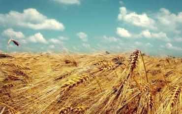 Golden-Wheat