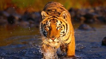 Majestic-Tiger