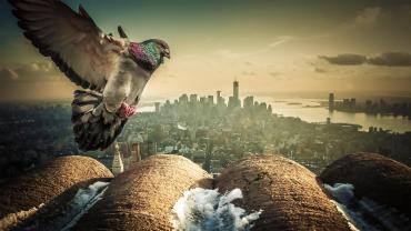 Pigeon-Over-New-York