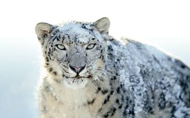 Snow-Leopard-Wallpaper