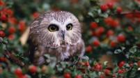 Tiny-Owl