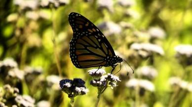 Butterfly-Sitting-on-Wild-Flower