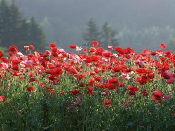 Japan-Poppies-HD-Wallpaper