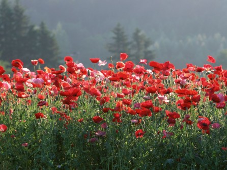 Japan-Poppies-HD-Wallpaper
