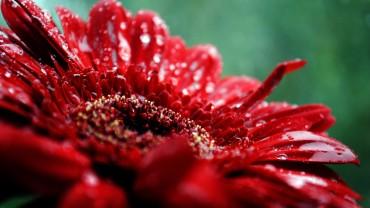 Red-Flower-Macro