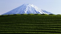 Tea-Field-and-Snow-Covered-Mountain-Top