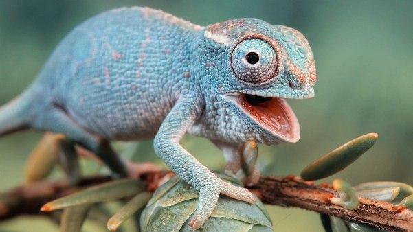 Tiny-Chameleon-HD-Wallpaper