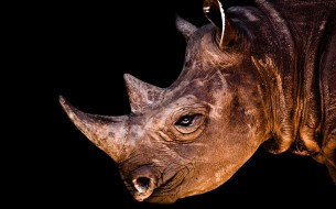 Rhino-Horn-HD-Wallpaper