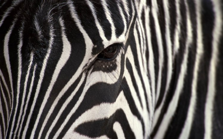 Zebra-Eye-Wallpaepr