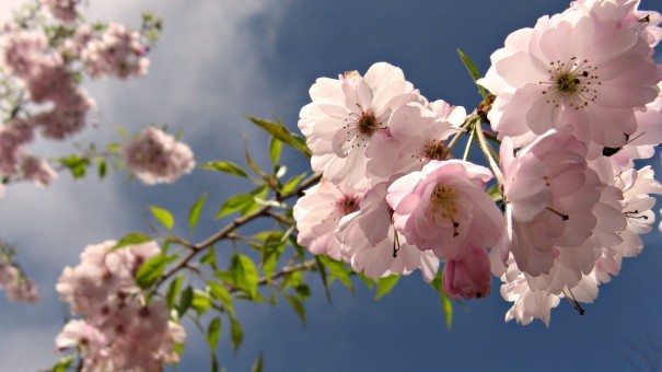 Cherry-Flowers-in-HD