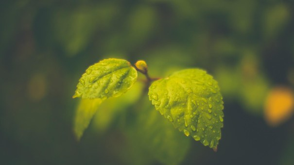 Young-Spring-Leaves