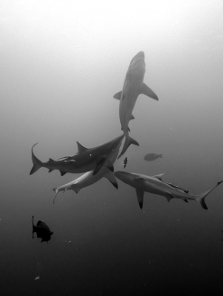 black-tips-?-sharks-feeding-black-white