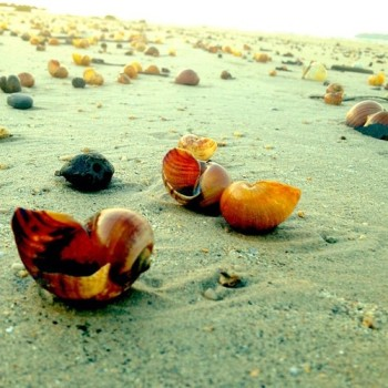 Sea snail shells beach