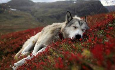 Most-Beautiful-Animals-Photography-wolf