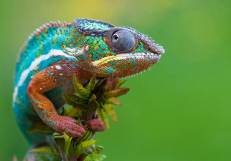 Most-Beautiful-Animals-Photography-chameleon