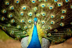 Most-Beautiful-Animals-Photography-pea-cock