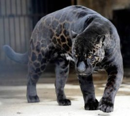 panther-prowl