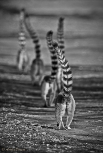 lemur-line