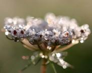 dew-crown