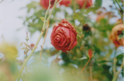 drill-rose
